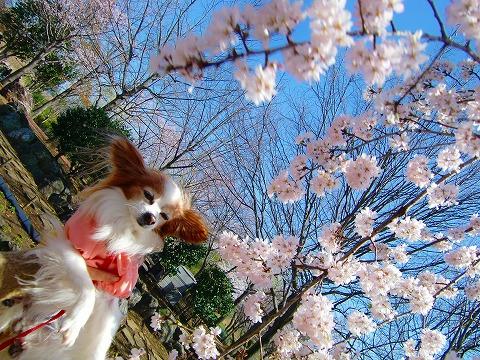 桜ツーショット