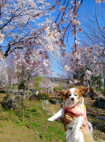 桜ツーショット**