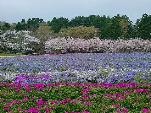 芝桜&桜 15.4.3