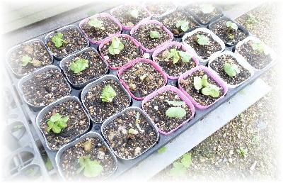 綿の芽5-2