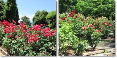北公園薔薇(2015_6)