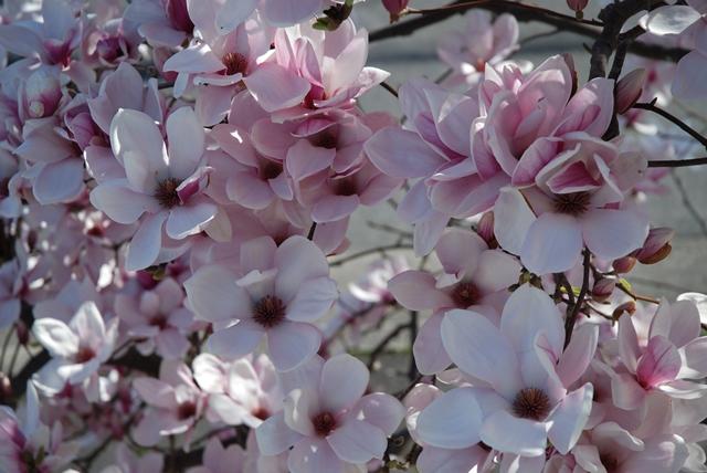 木蓮と桜の競演