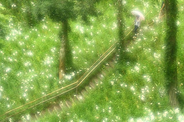 2015.6.20可睡ゆり園1