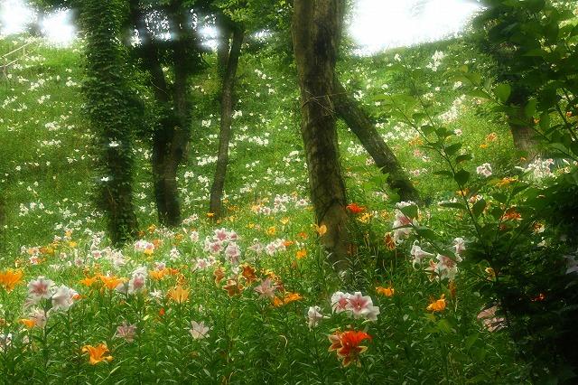 2015.6.20可睡ゆり園9