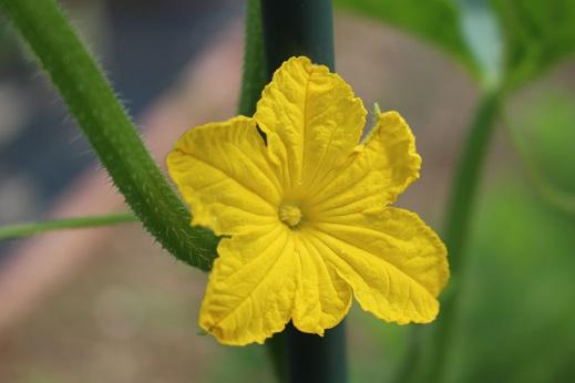 キューリ花