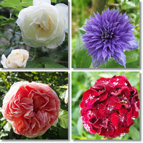 201505114薔薇
