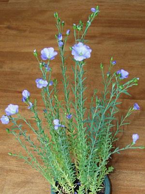 flaxflower.jpg