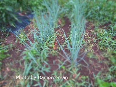 2015.6.11菜園9