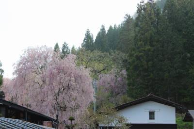 桜咲いてる~
