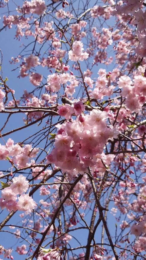 3月31桜3