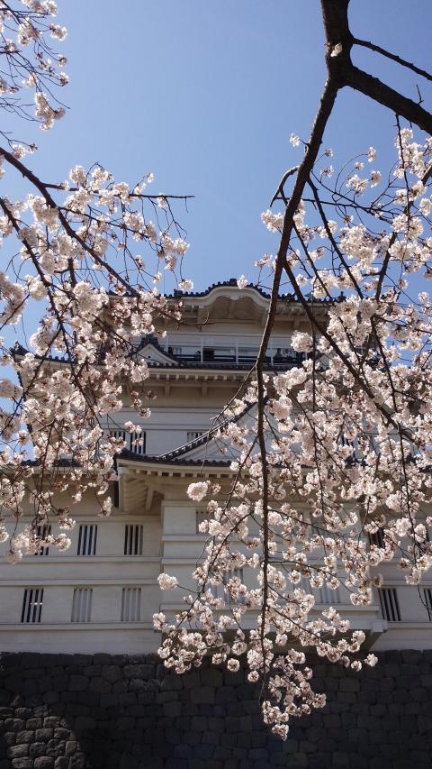 3月31桜4