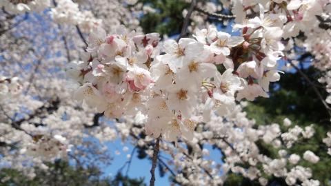 3月31桜5