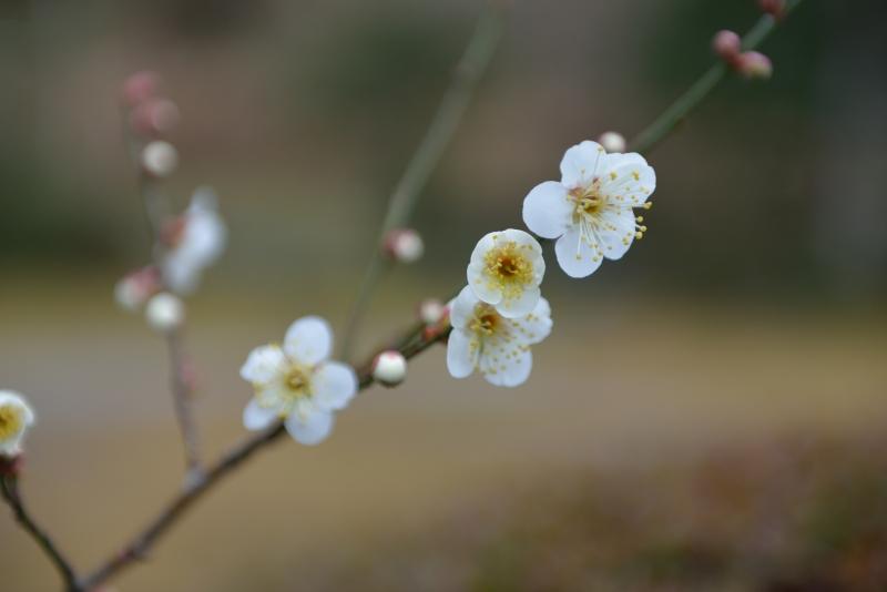 庭の梅 (3)