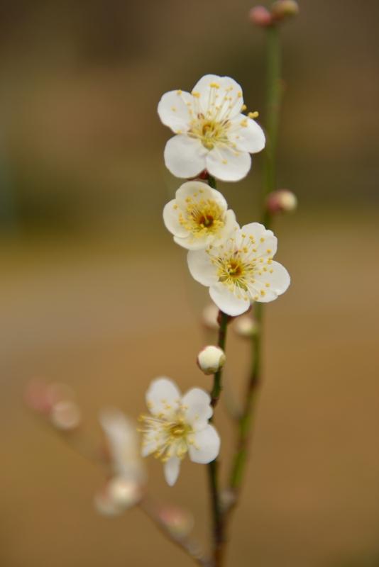 庭の梅 (4)