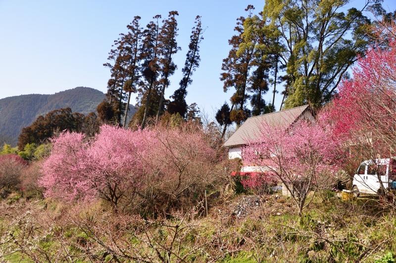 大山梅祭り (2)