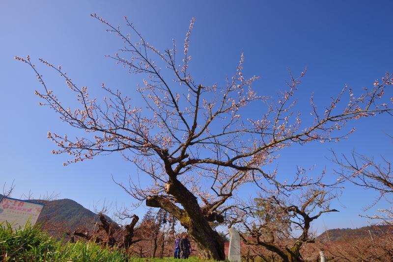 大山梅祭り (7)