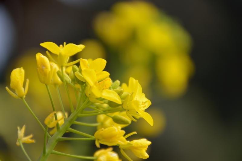 菜の花 (6)