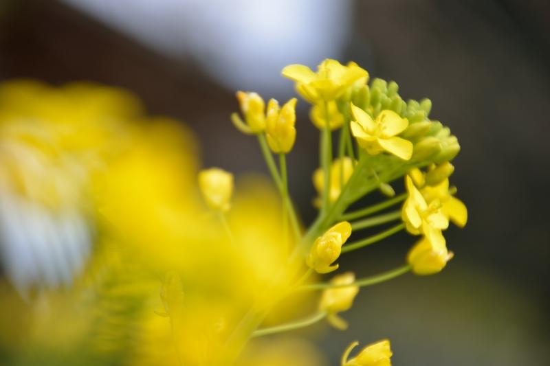菜の花 (5)