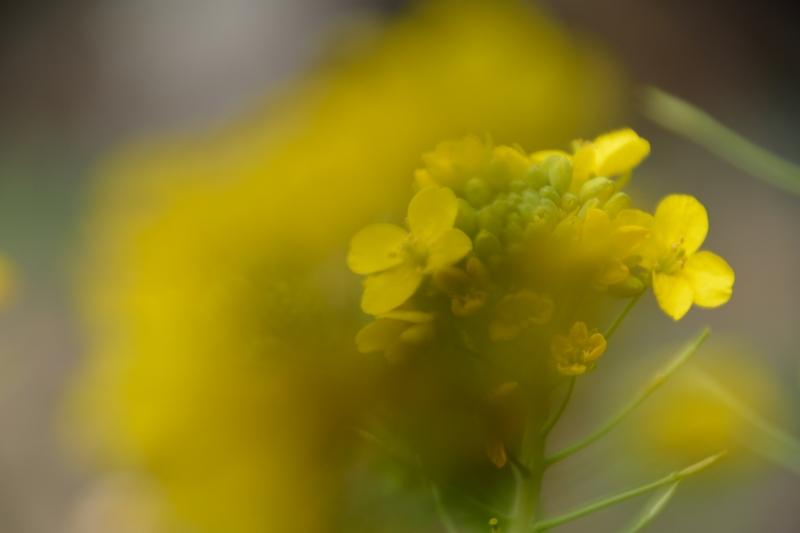 菜の花 (3)