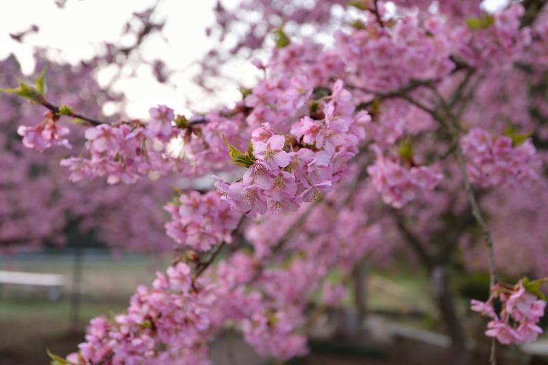 慈悲観音の桜 (6)