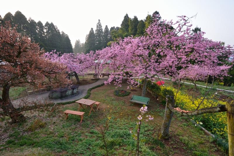 慈悲観音の桜 (5)
