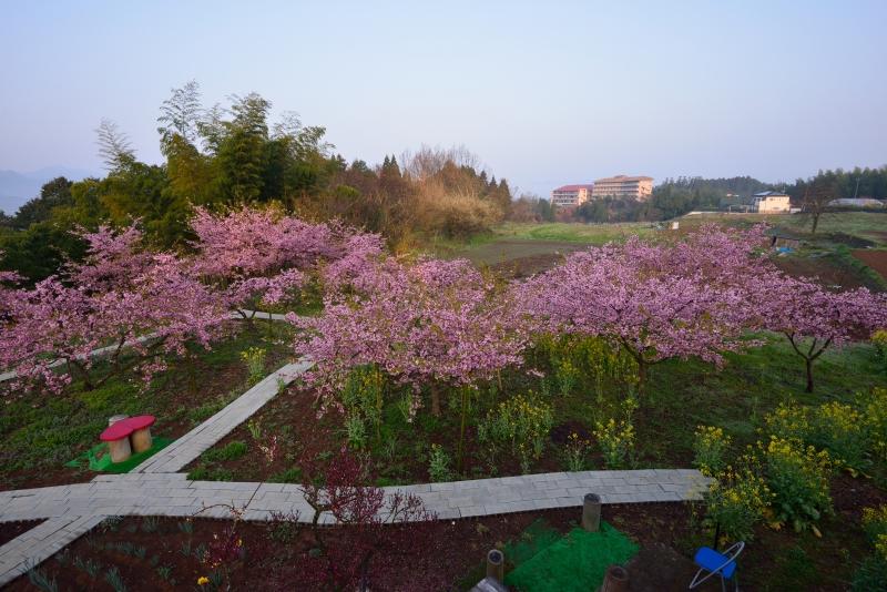 慈悲観音の桜 (4)