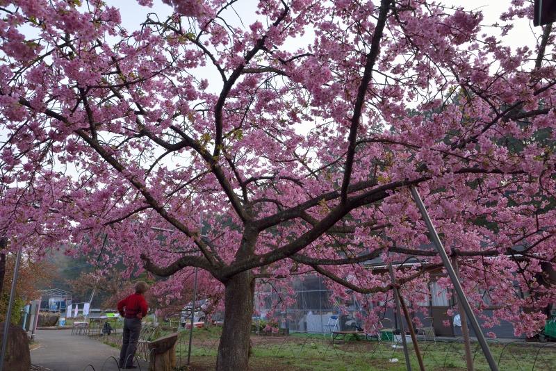 慈悲観音の桜 (3)