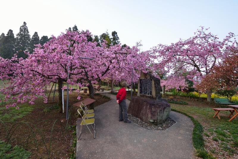 慈悲観音の桜 (2)