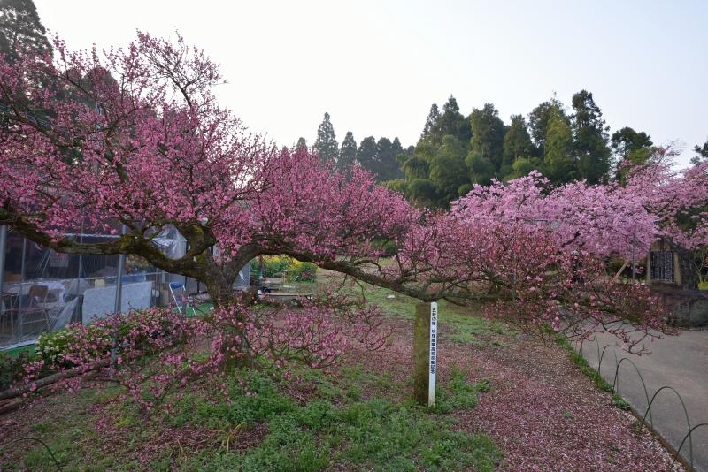 慈悲観音の桜 (1)