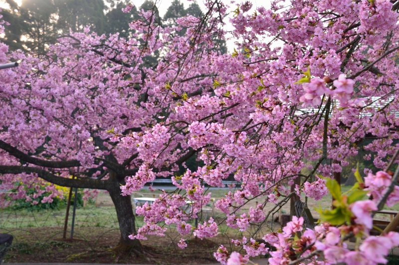 慈悲観音の桜 (12)