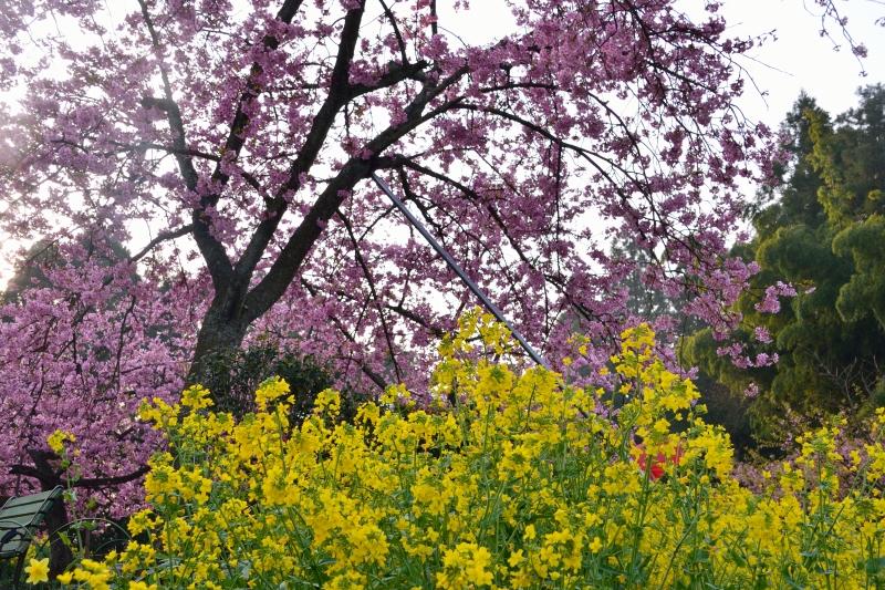慈悲観音の桜 (11)