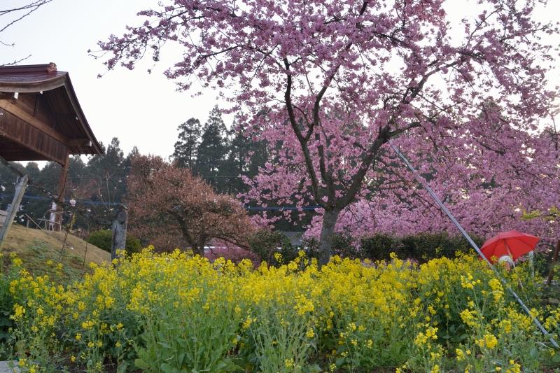 慈悲観音の桜 (9)