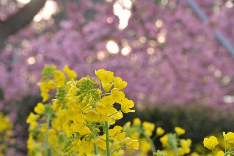 慈悲観音の桜 (10)