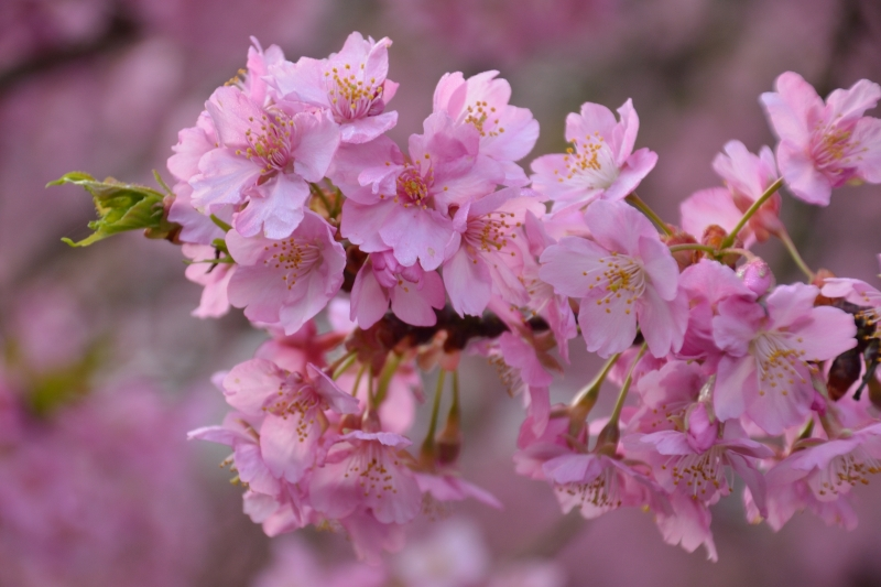 慈悲観音の桜 (7)