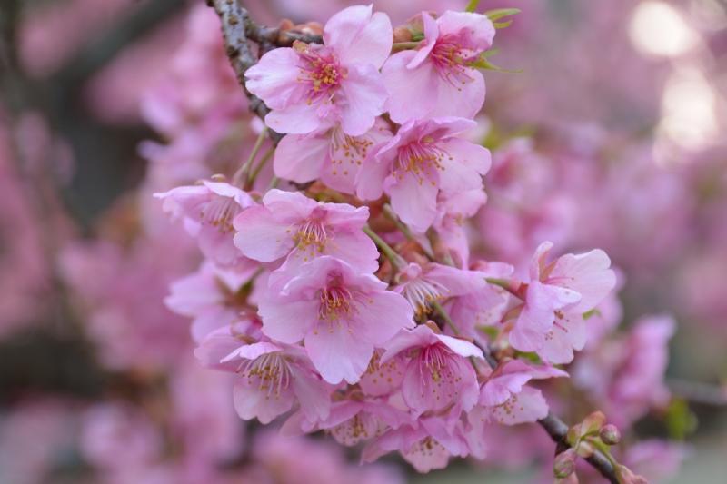 慈悲観音の桜 (8)