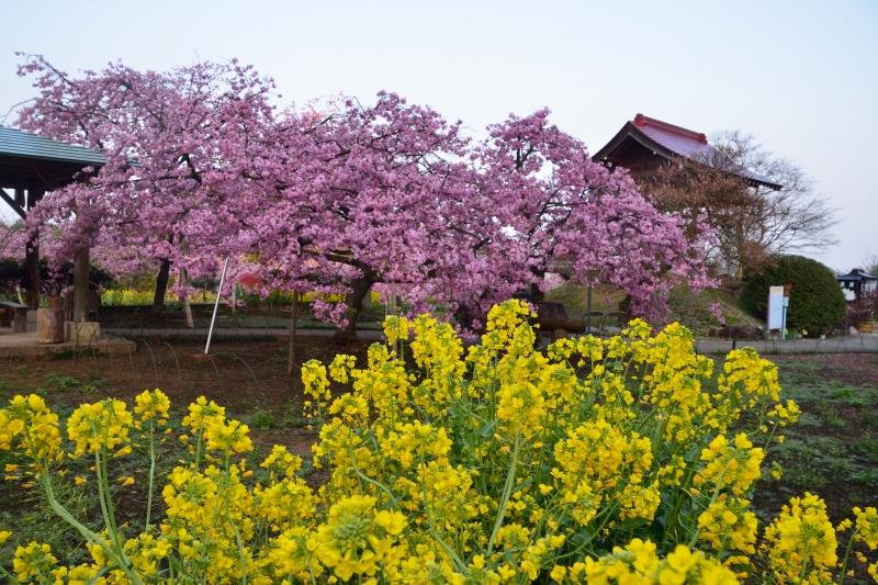 慈悲観音の桜 (14)