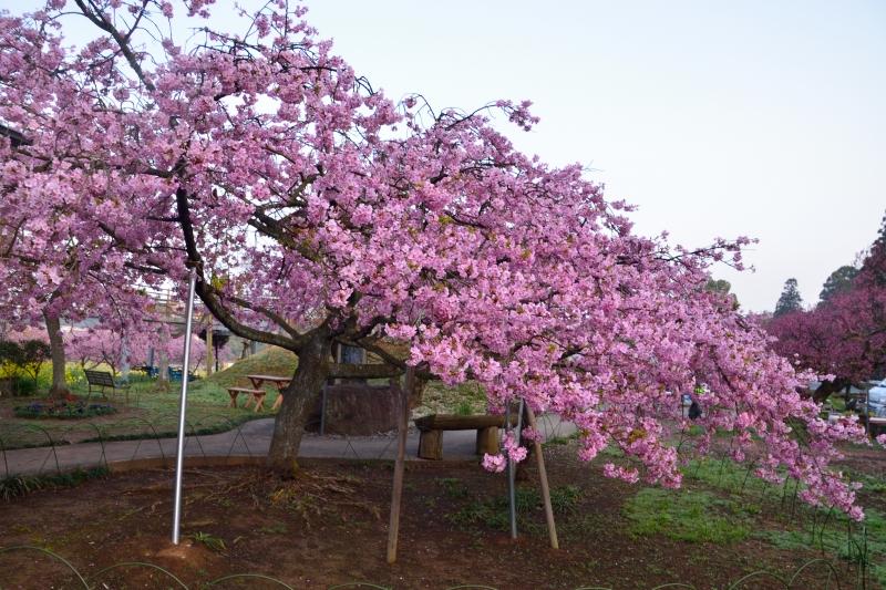 慈悲観音の桜 (13)