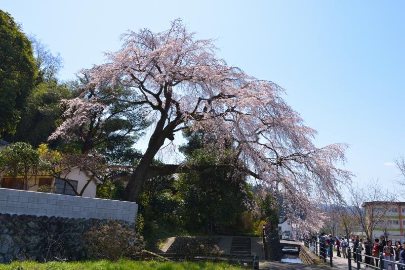 大原枝垂桜 (5)
