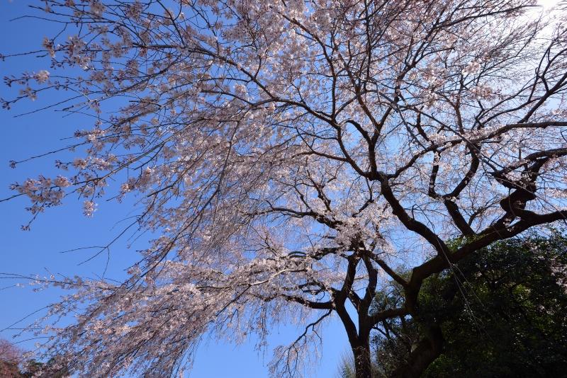 大原枝垂桜 (4)
