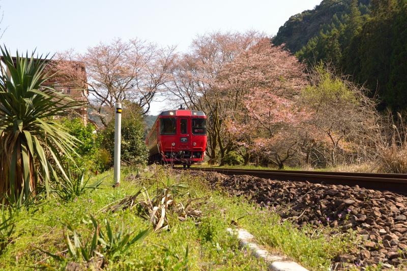ゆふ4号と桜 (1)