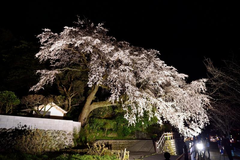 大原枝垂桜 (6)