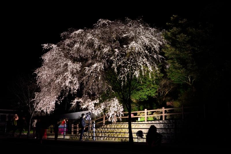 大原枝垂桜 (2)