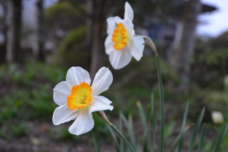 庭の花 (7)