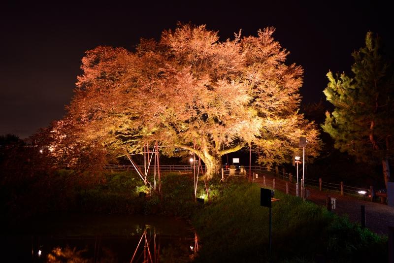 浅井の一本桜 (4)