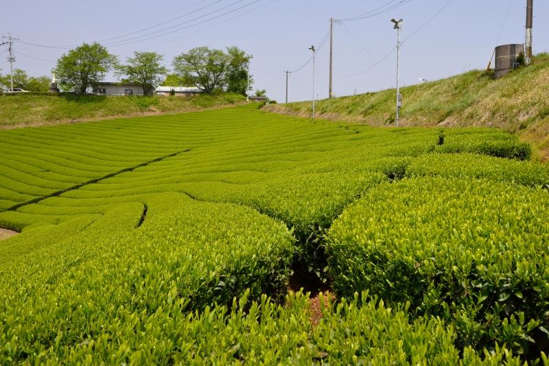 八女中央大茶園 (3)