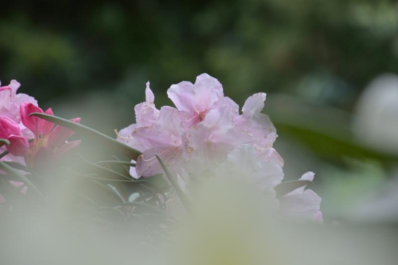 川津しゃくなげ園 (6)