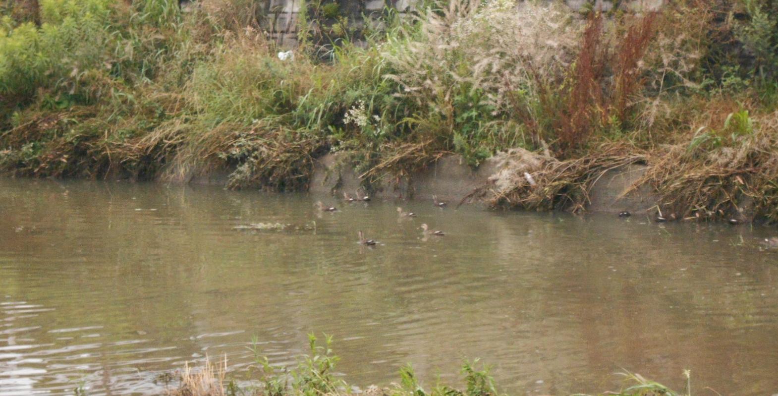 川で遊ぶ「カルガモ一家」