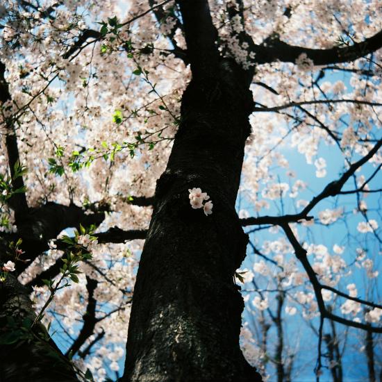 20150422二眼レフ11枚目・桜