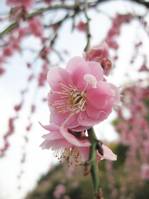 しだれ梅2015-02
