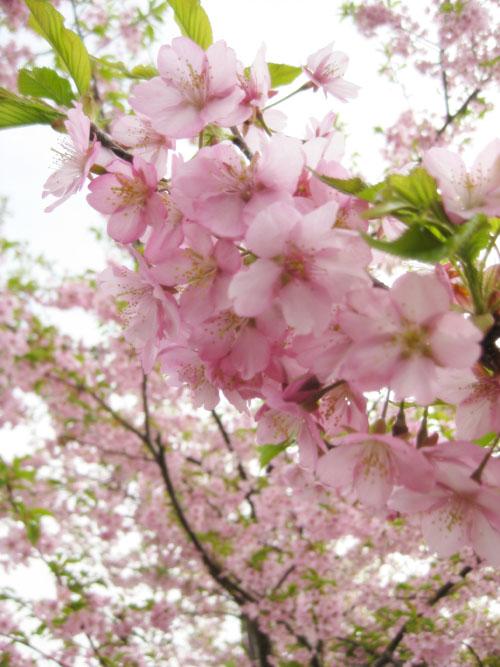 桜2015-04
